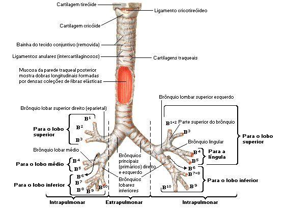 Aula de Anatomia | Sistema Respiratório | Saúde e TO// Health and OT ...