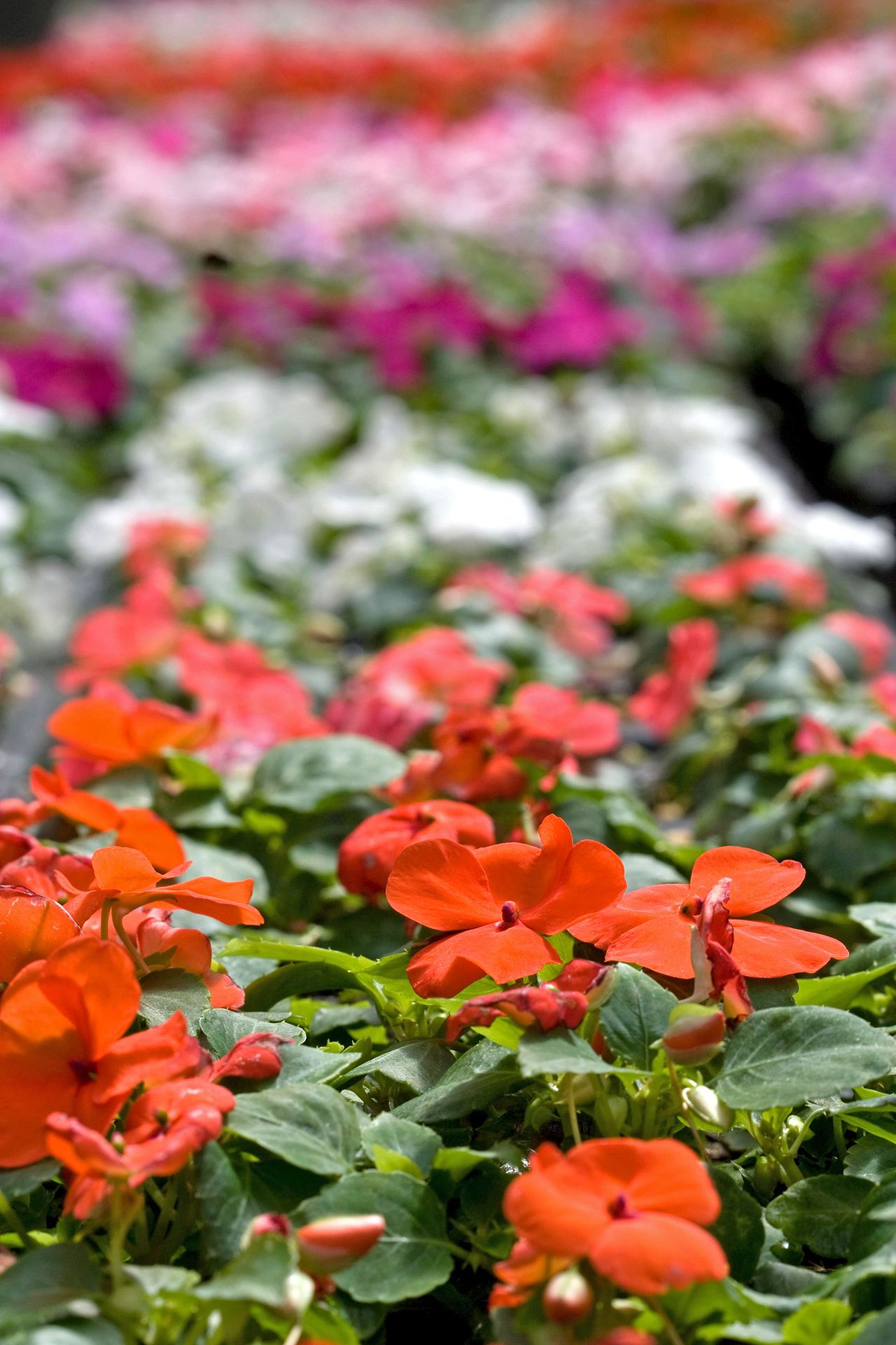 14 Gorgeous Annuals To Grow In The Shade Annual Plants Shade