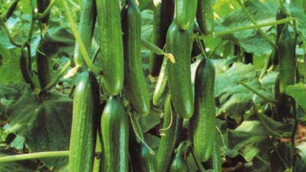 كيف يزرع الخيار Growing Cucumbers Agriculture Plants