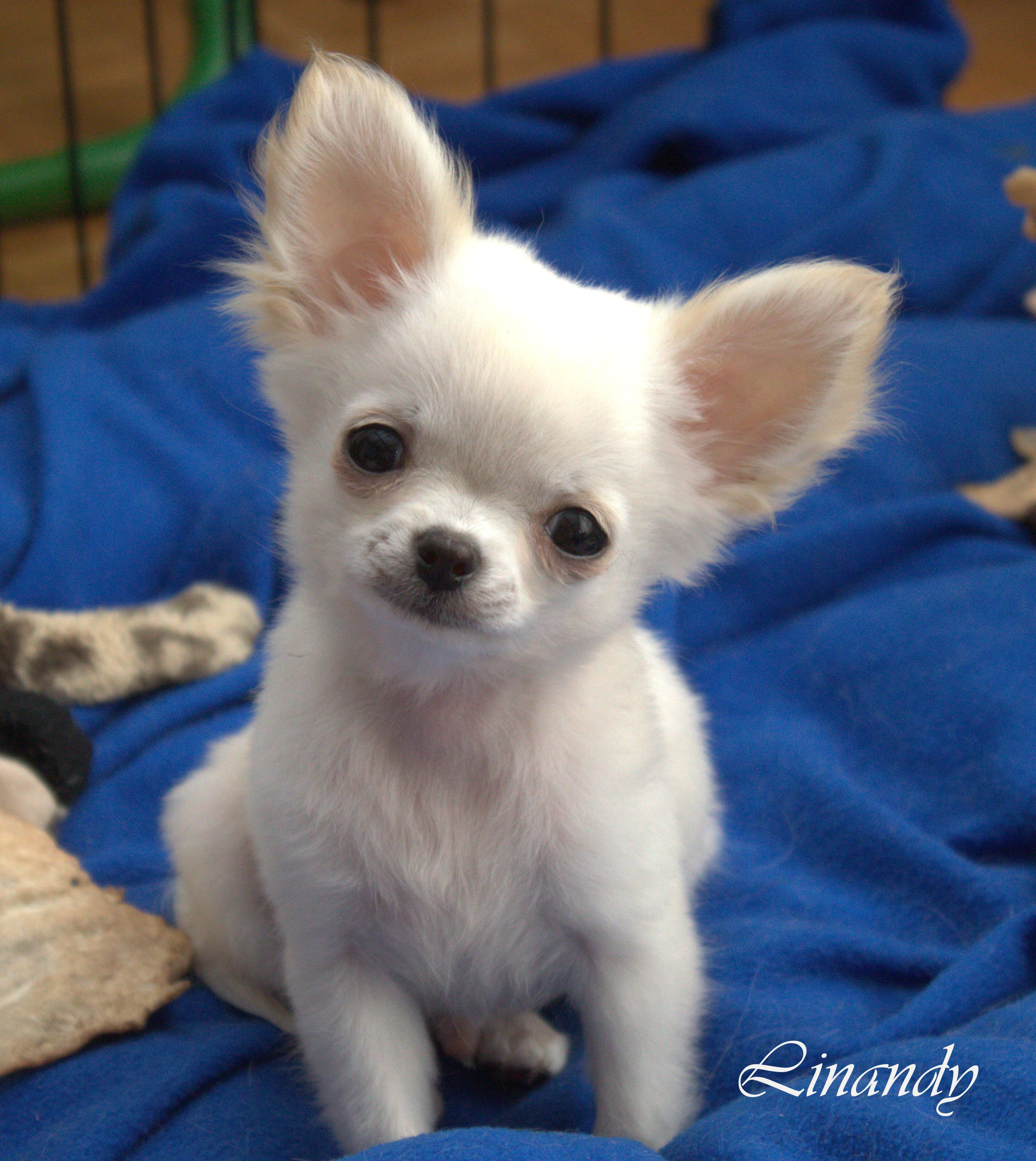 Jiminy My White Puppy Chihuahua Lustige Tiere Hundebaby Susse Hunde