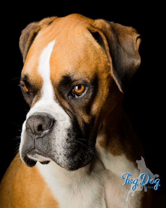 Fog Dog Studios Dog Photographer Fog Dog Studios Specializes In Fine Art Portraits Of Your Dog Fogdogstud Dog Photograph Dog Portraits Fine Art Portraits
