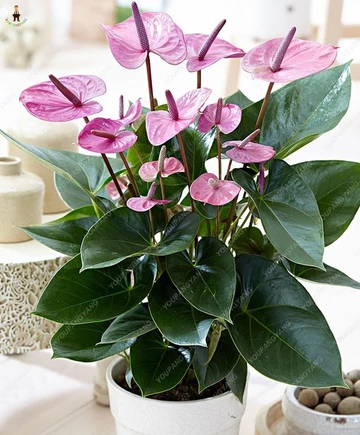 What To Do If The Leaves Of Your Anthurium Become Discoloured Planten Binnenshuis Tuinieren Kamerplanten