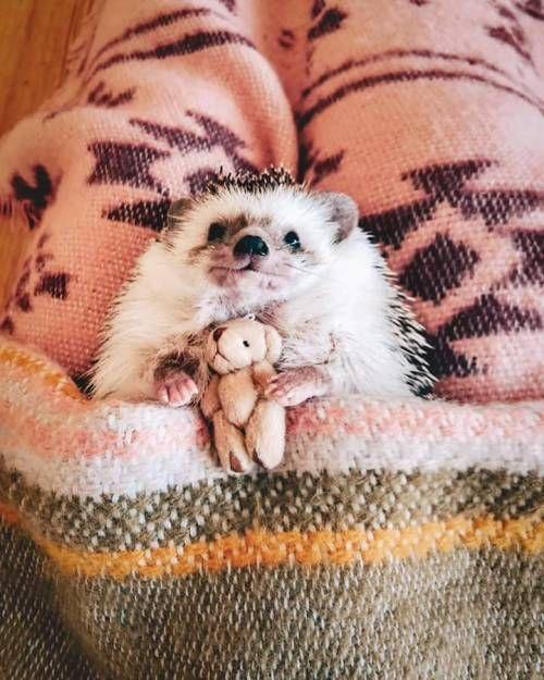 Meet the tiny adventurer, Mr.Pokee the Hedgehog. ❣️