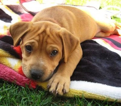 Pitbull Puppy Brown Dog Gallery Images Dog Breeds Pictures