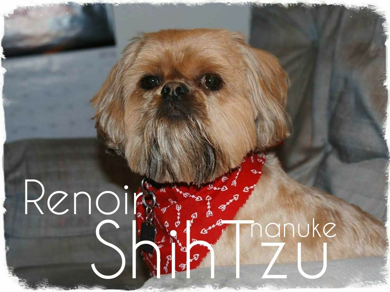 Pin by sonia pacheco on nanuke shih tzu owners club shih