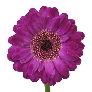 Purple Paradise Mini Gerbera Daisies With Images Gerbera Daisy