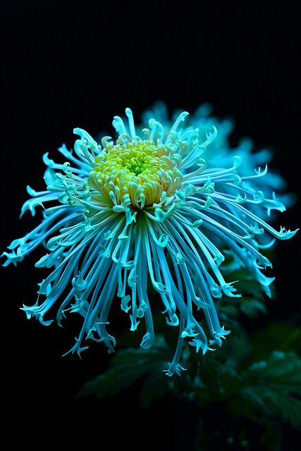 Chrysanthemum, great for repelling wasps when crushed and extraction of it's natural oils! You can buy chrysanthemum oil wasp/killer bee spray at Lowe's.