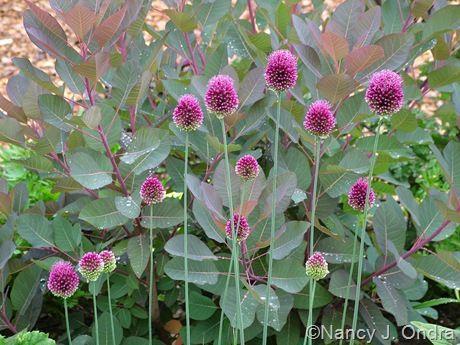 Drumstick Flower Advantages