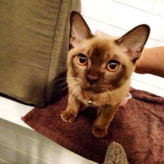 Burmese Kitten Burmese Kittens Kittens Cats