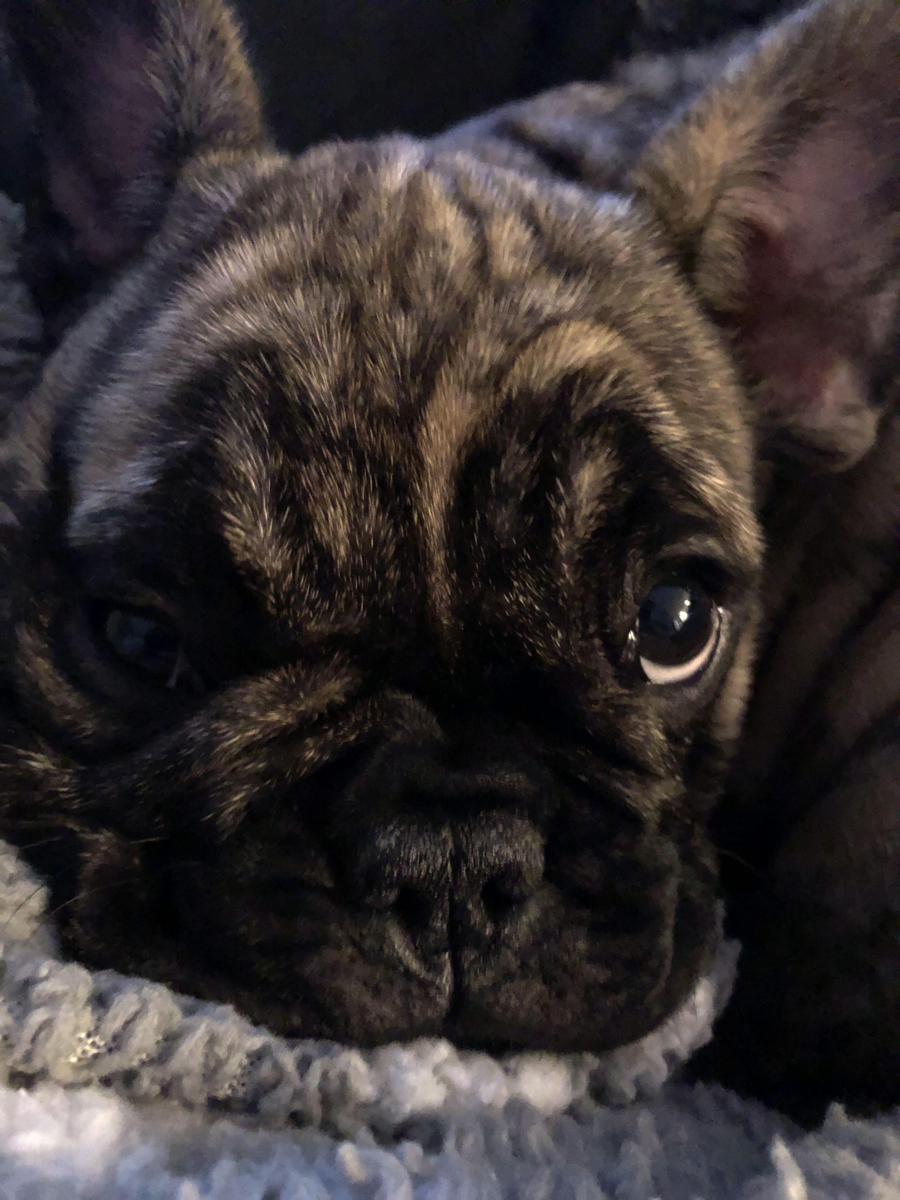 Reverse Brindle Frenchie Bulldog Brindle French Bulldog Frenchie Bulldog French Bulldog