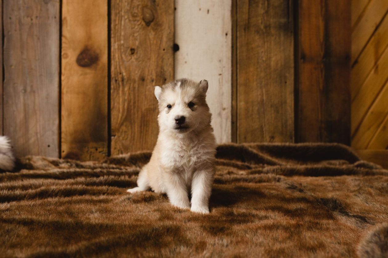 Squiggle A Male Wolf Malamute Hybrid Puppy For Sale In Colorado
