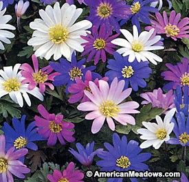 Anemone Blanda Mix Bulb Flowers Spring Flowering Bulbs Anemone