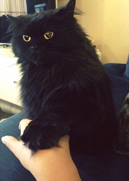 Black Persian Cat Cats Fluffy Cat Persian Cat