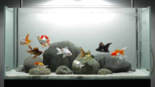 Fancy goldfish tank (I think that there are a plot of fishes in a little space)