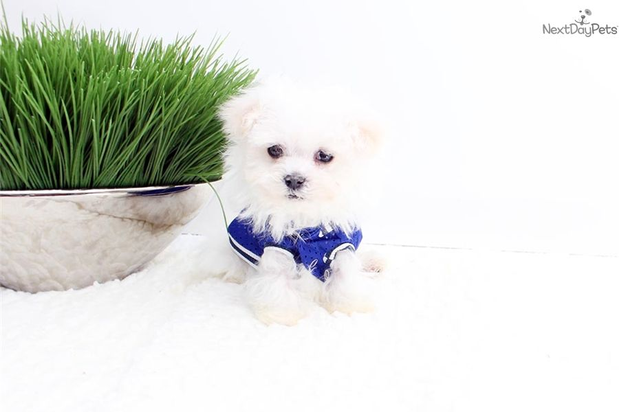 Maltese Puppy For Sale Near Los Angeles California 12f6a951