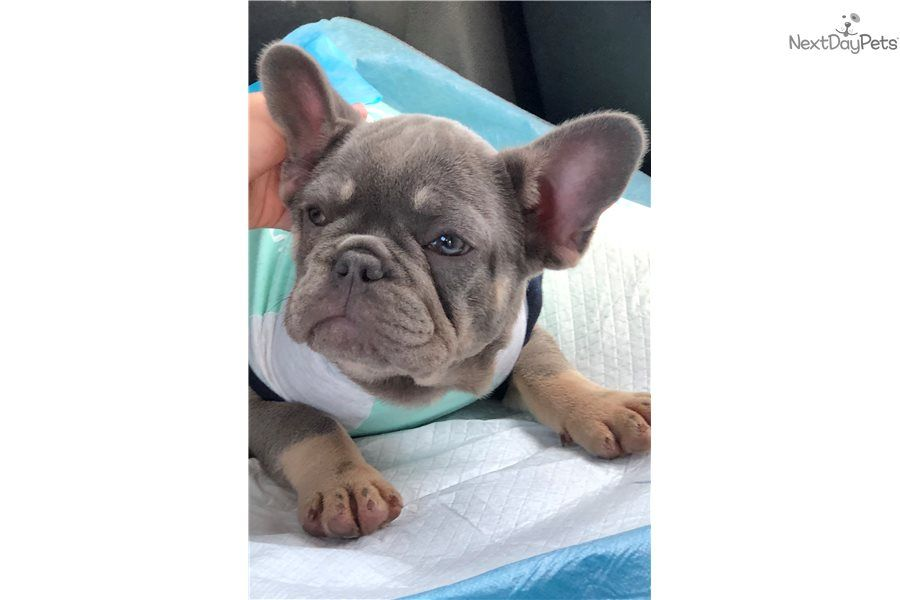 I Am A Cute French Bulldog Puppy Looking For A Home On Nextdaypets Com French Bulldog French Bulldog For Sale Bulldog