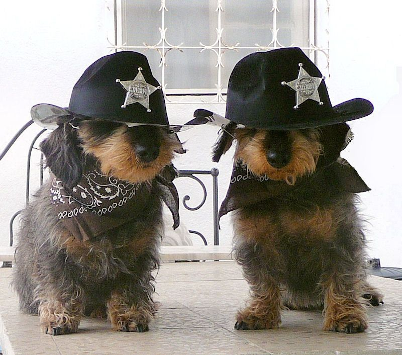 Deputy Dachshunds Couple Of Doggies Keeping The Peace In Town