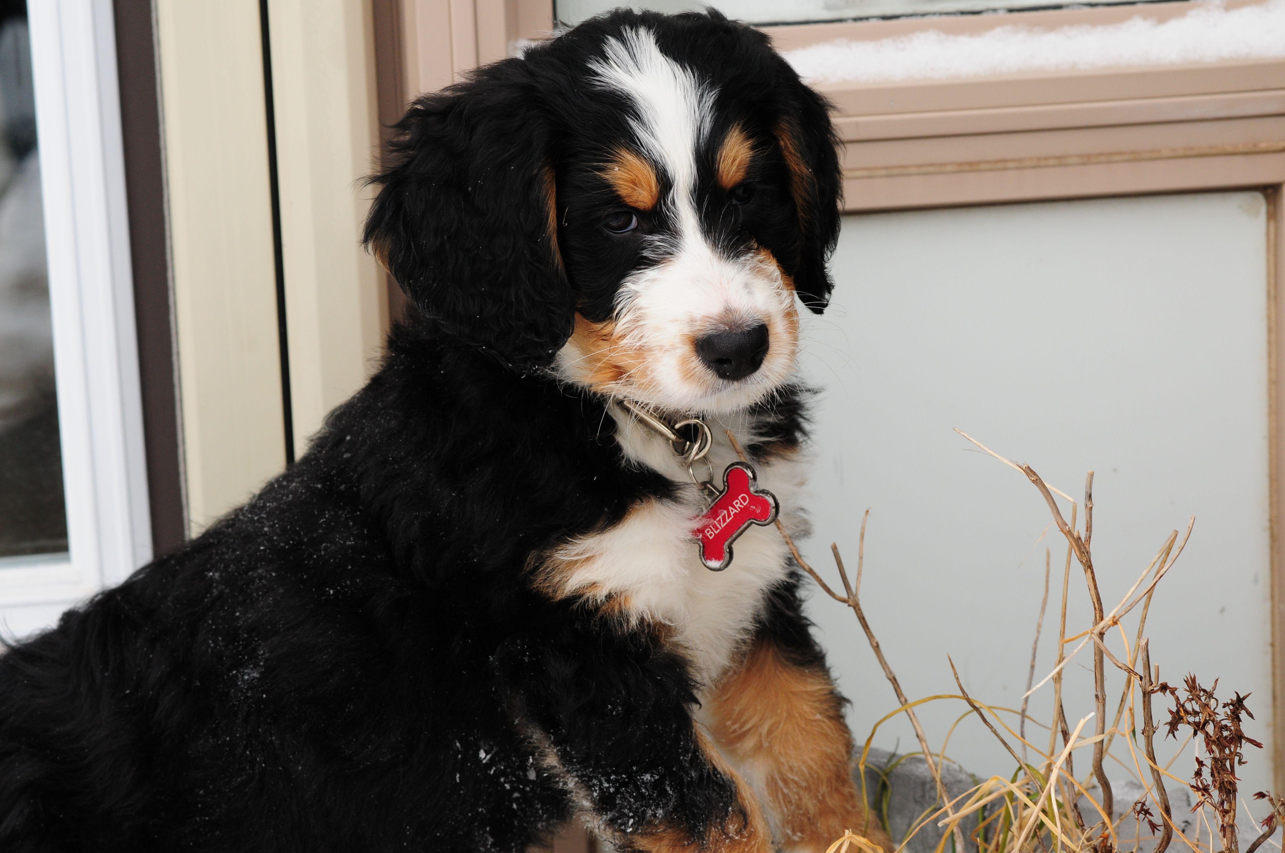 Bernedoodle puppy Bernedoodle, Bernedoodle puppy, Big