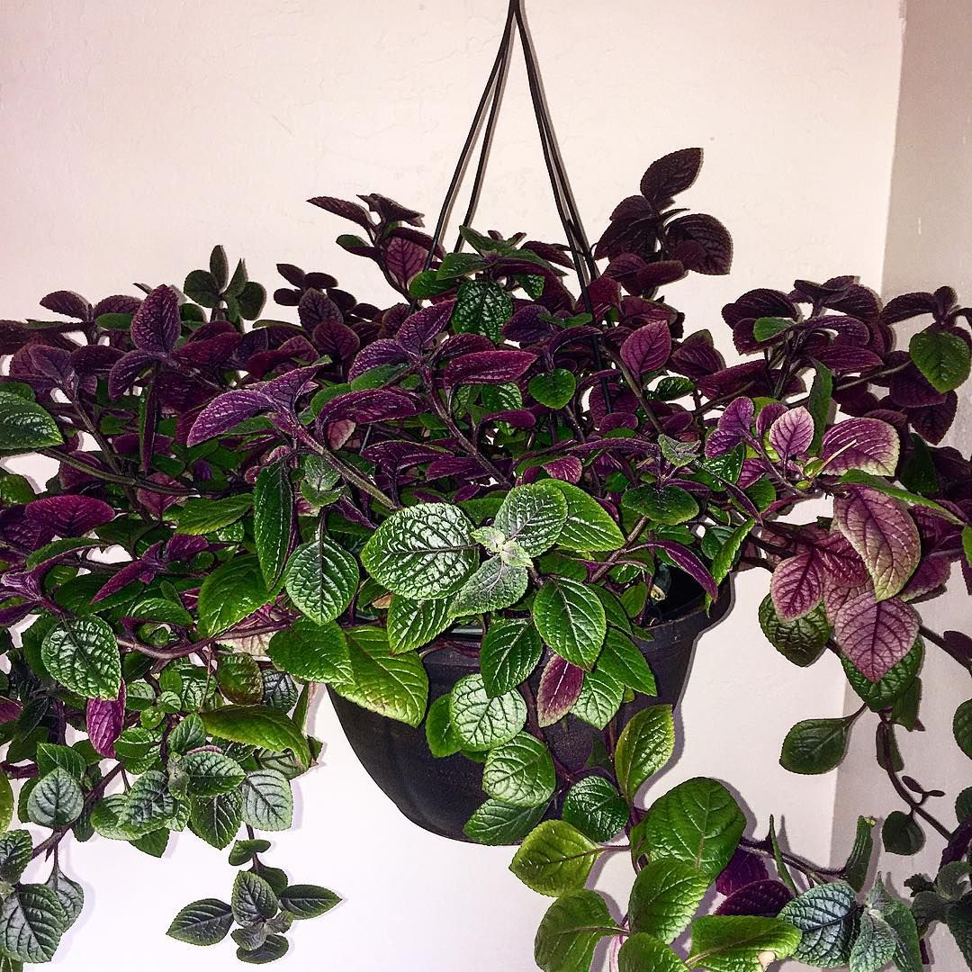 plectranthus ciliatus swedish ivy house plants. Black Bedroom Furniture Sets. Home Design Ideas
