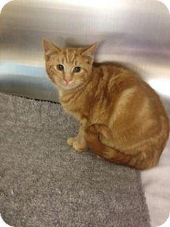 Westport Ct Domestic Shorthair Meet Carrot A Kitten For Adoption Http Www Adoptapet Com Pet 12261769 Westport Connecti Kitten Adoption Pets Orange Cats