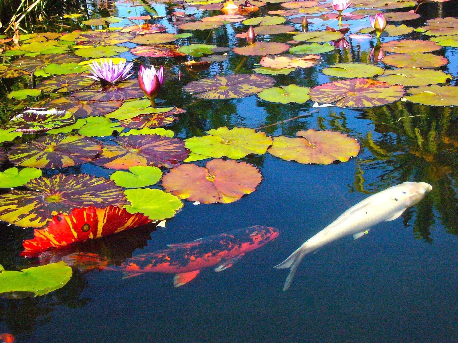 Most Beautiful Koi Fish Images Of Japanese Koi Koi Fish Japanese Koi