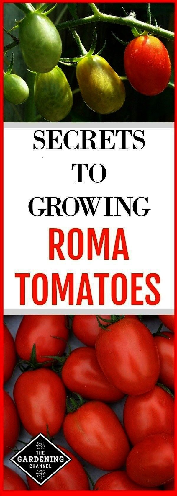 in the garden and roma tomato harvest with text overlay secrets to growing roma tomatoesroma tomatoes growing in the garden and roma tomato harvest with text overlay secr...