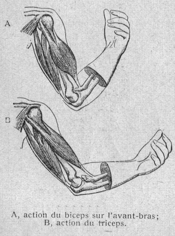 Dessins anatomie-physiologie : Image (97) - Muscles de flexion du ...