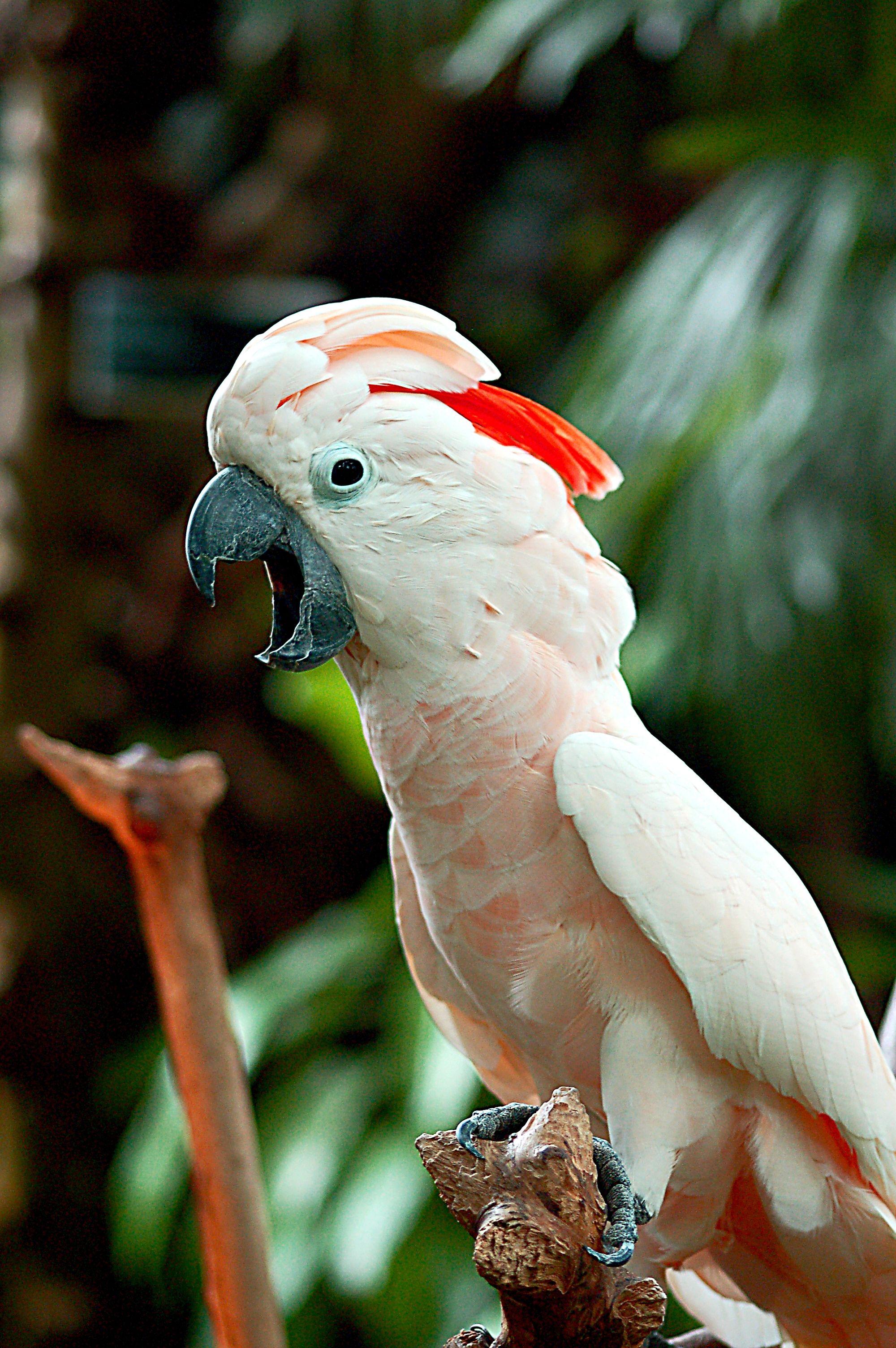 Moluccan Cockatoo Pet Birds Types Of Pet Birds Pet Bird