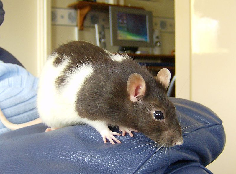 Take The Stress Out Of Bathing Your Pet Rat Pet Rats Pets Rats