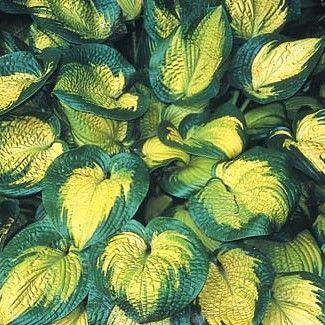 Sun Loving Hostas Hostas Plants Hosta Plants Shade Perennials