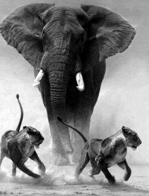Pin By Billy Blak On Blak Elephants Photos Bull Elephant Animals Beautiful