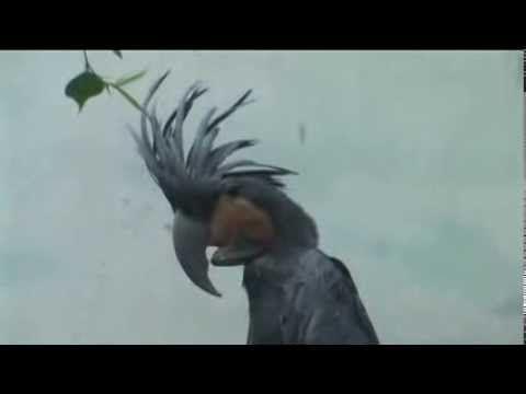 كوكاتو النخيل Animals Bird