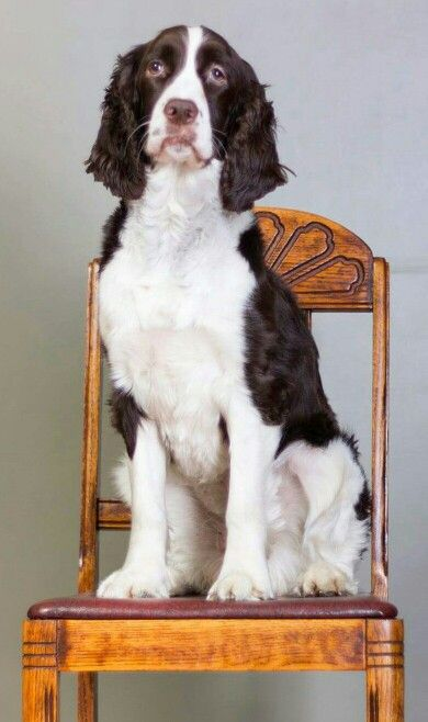 Pin By Tina Chamberlain On The Best Dog Breed Ever My Babies Springer Spaniel Spaniel English Springer Spaniel Puppy