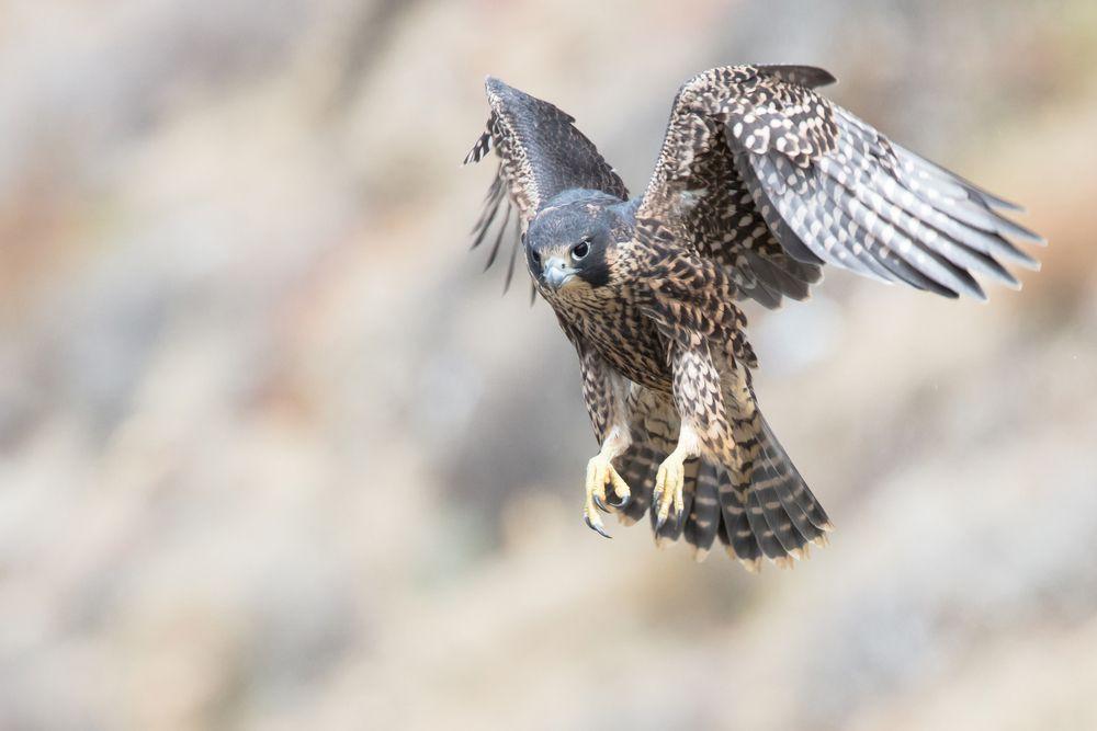 شاهين او الصقر الجوال اسرع طيور العالم كل ماتود معرفته عنه طيور العرب Animals Super Powers Unusual Animals