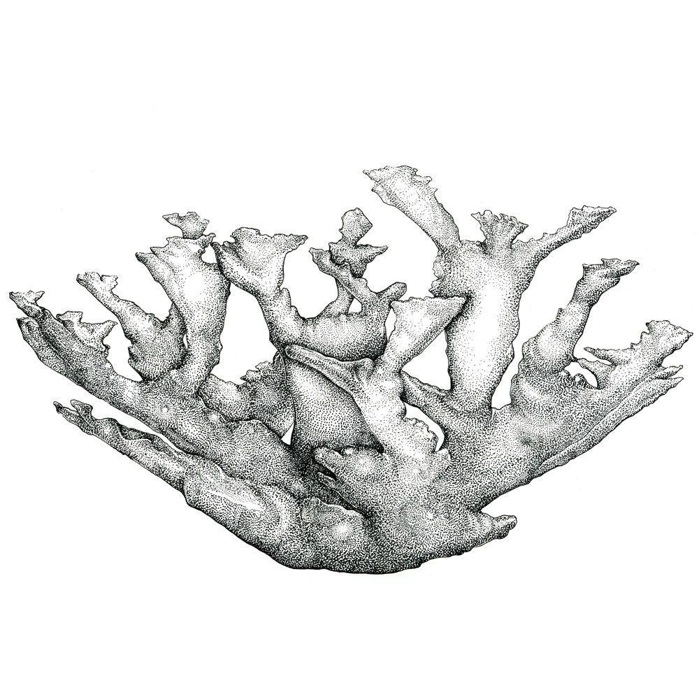 Elkhorn Coral, Framed Illustration Art Print | Billie & Olives