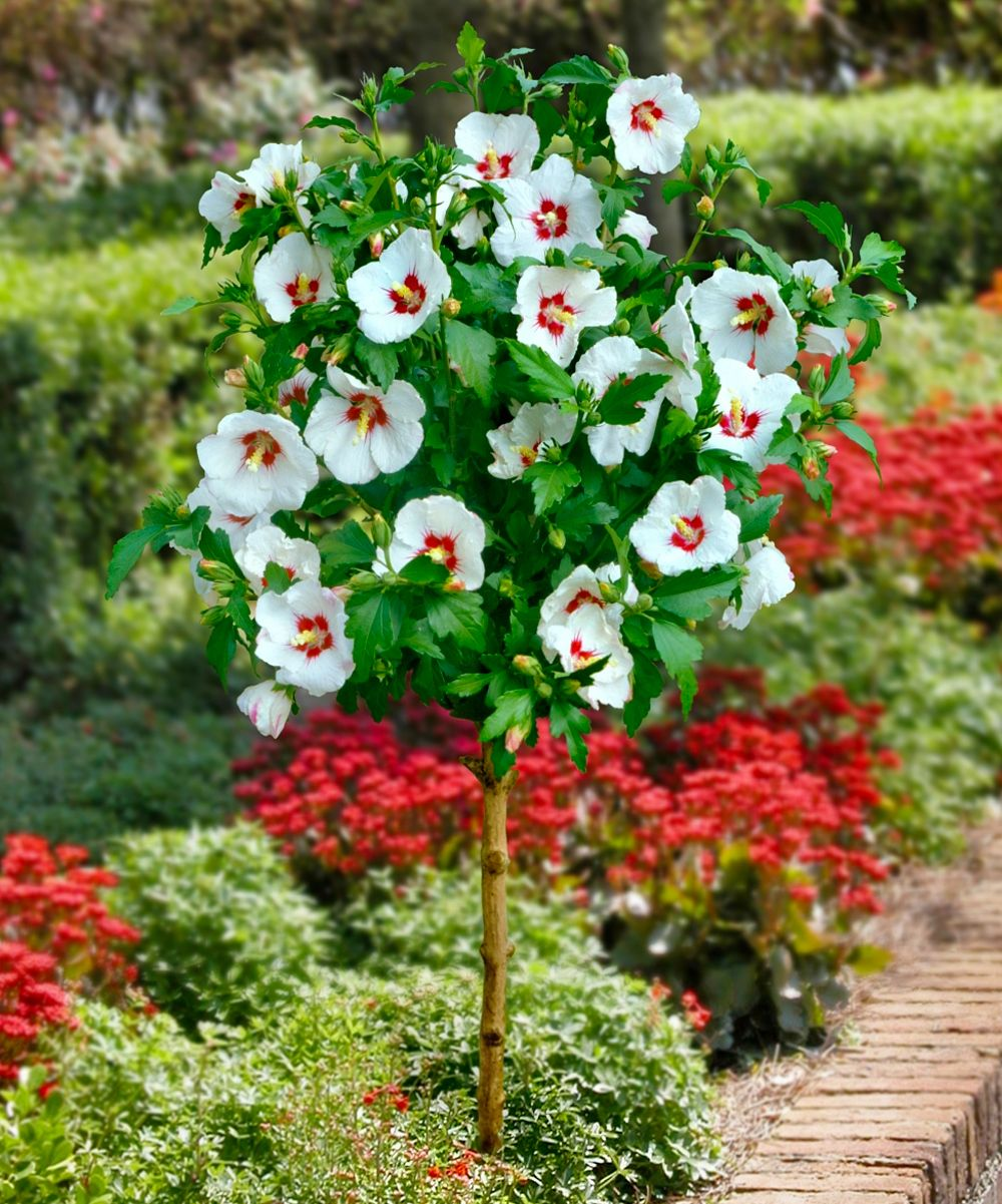 Empress Rose of Sharon Tree - $16.99 | Interests - Flowers ...