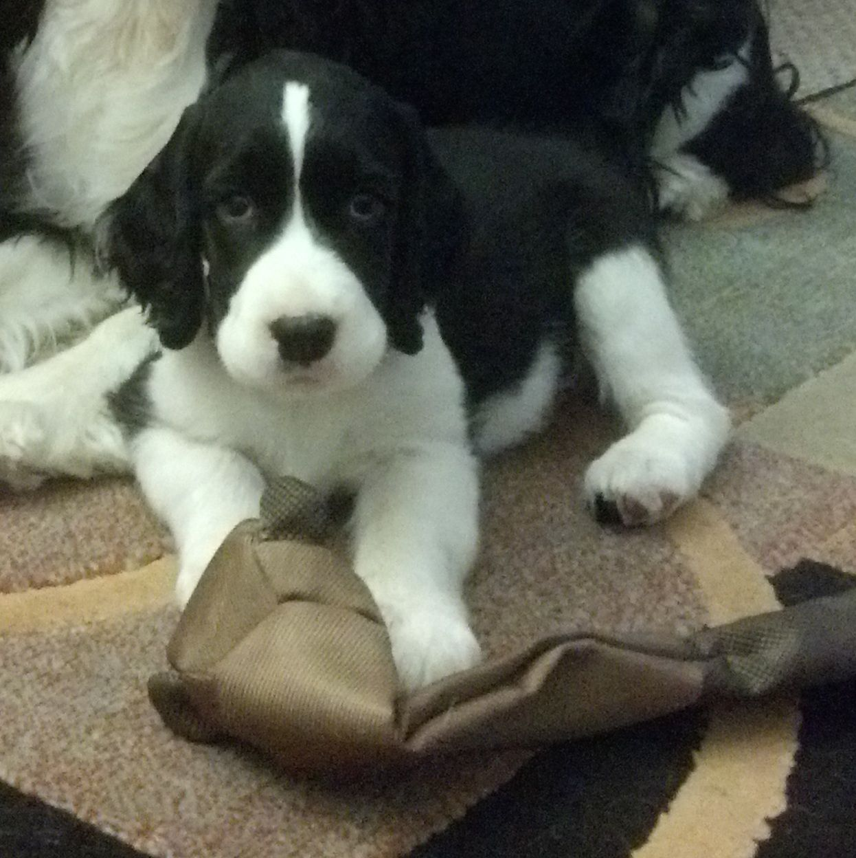 English Springer Spaniel Puppy Adorable I Bet This Is What Reese