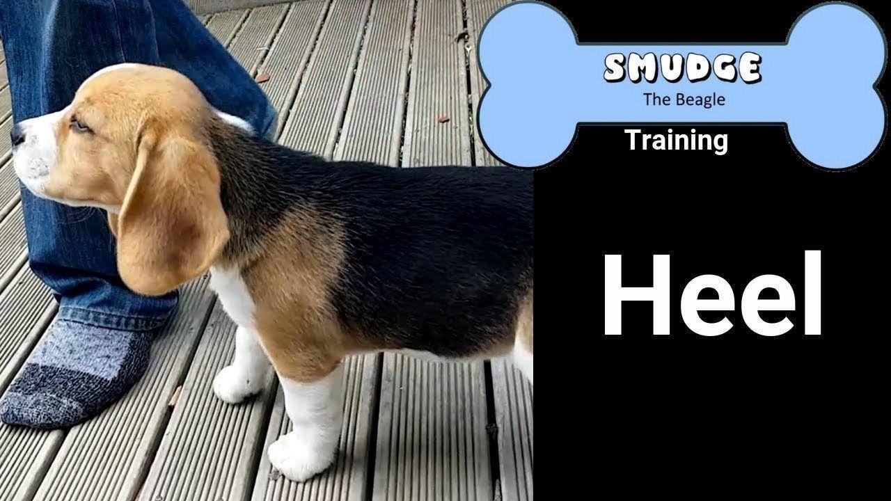 Beagle Puppy Training Heel Beagle Puppy Beagle Puppies