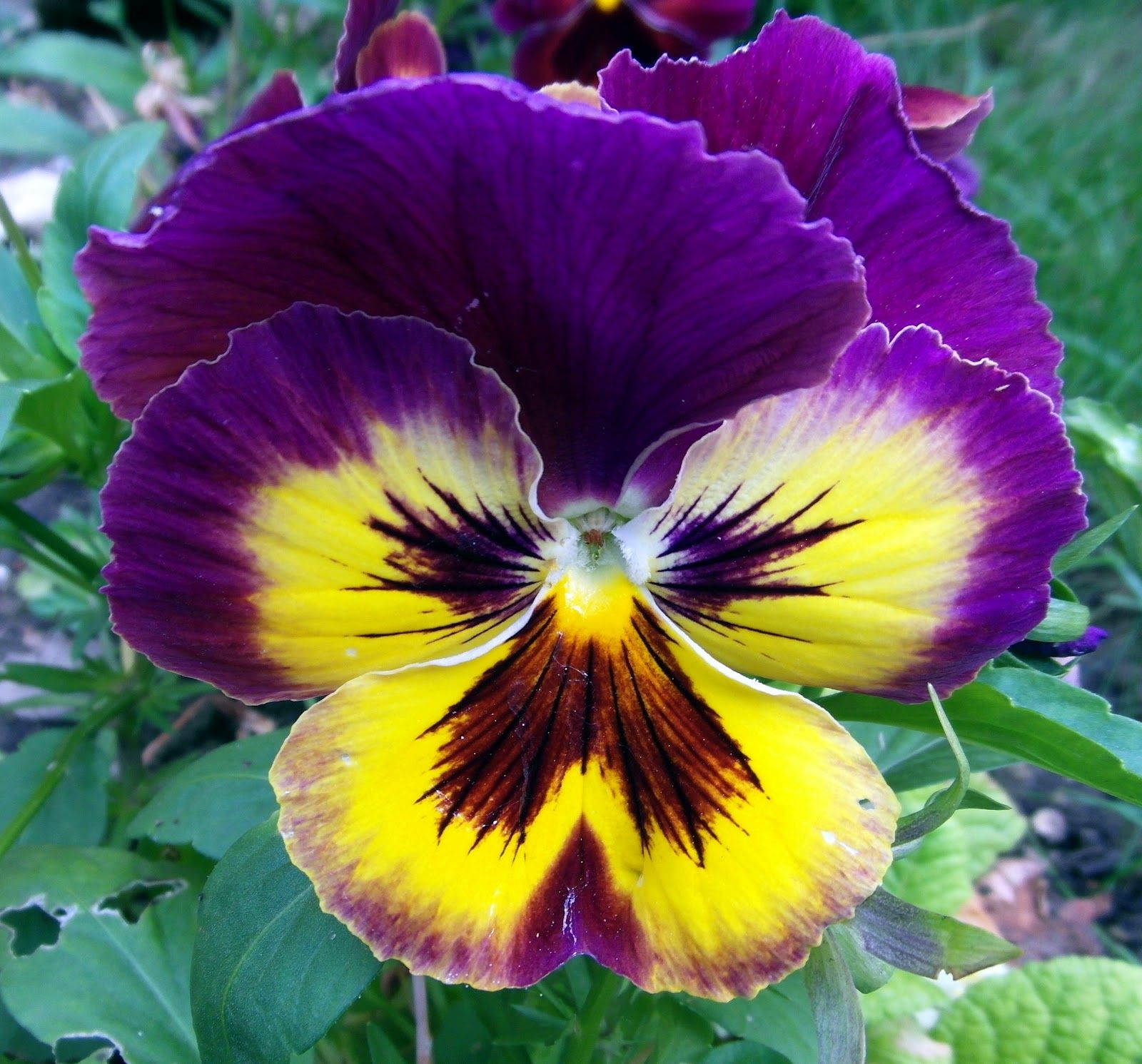Pansy Close Up Google Search Pansies Flowers Pansies Flower Pictures