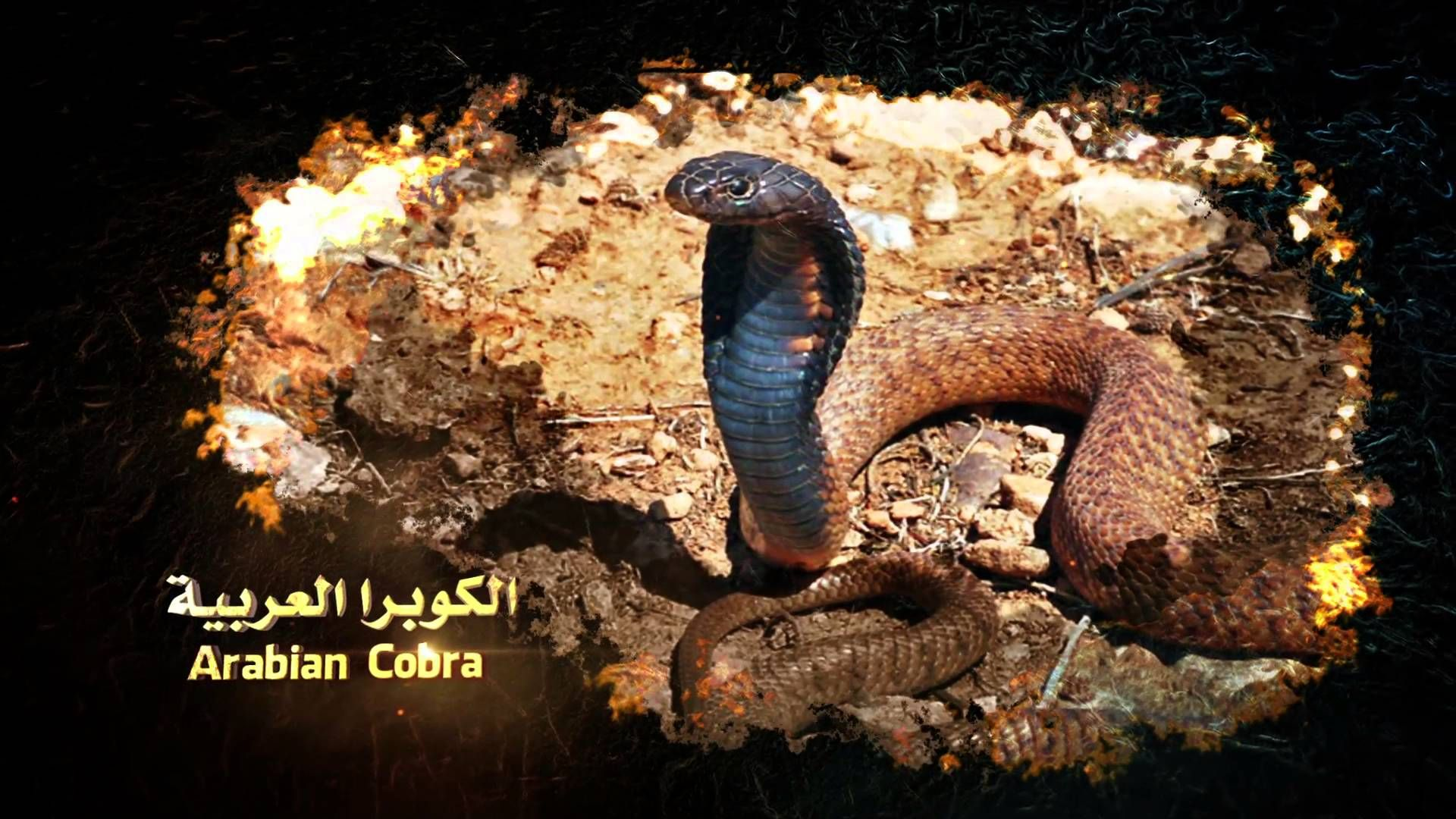 كامل بدوي عالم الثعابين بيئة الثعابين Kamel Badawi World Of Snakes Snakes Enviroment 16 World Snake Animals