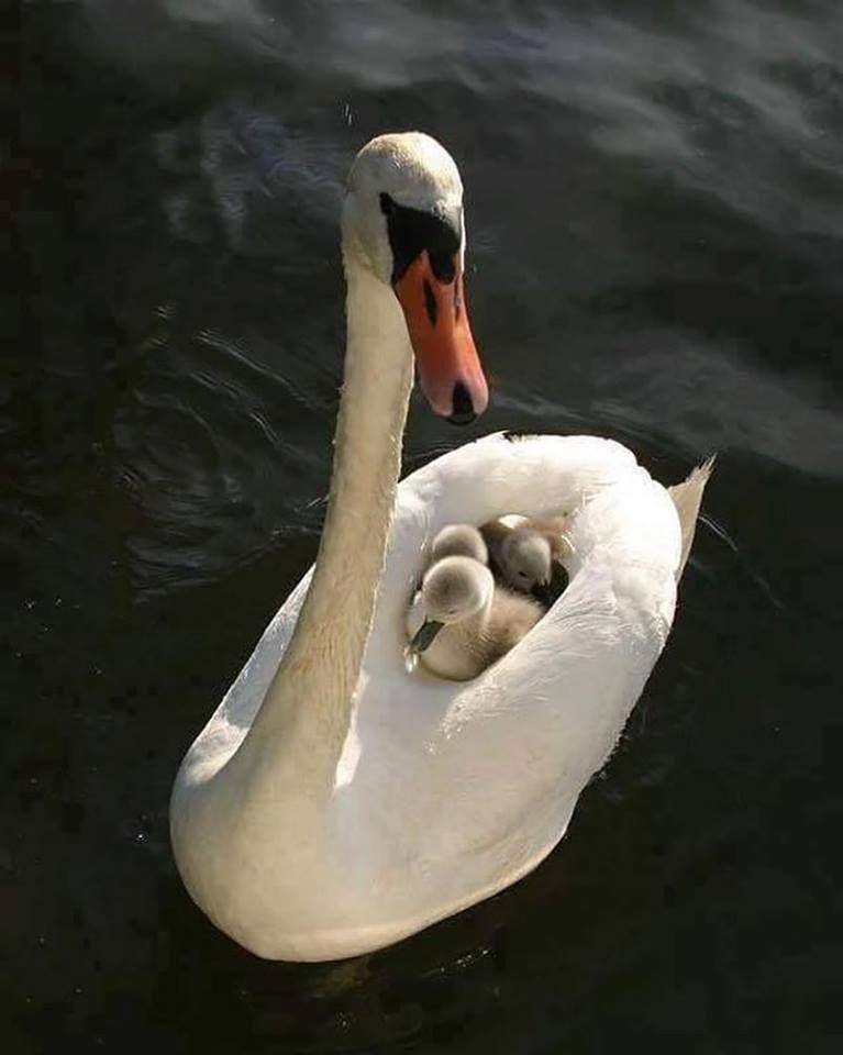 swanfamily Cute animals