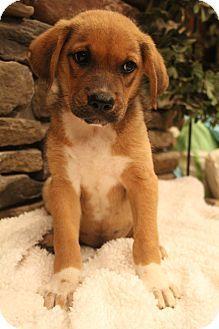 Bedminster Nj Labrador Retriever Shepherd Unknown Type Mix Meet Cappuccino A Puppy For Adoption Http Www A Labrador Retriever Labrador Puppy Adoption