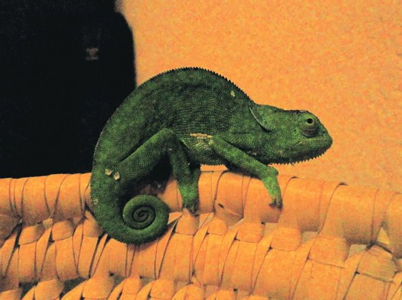 Chameleon. Such a flexible fellow. Now green, but soon... who knows? Luv yur tail, dude.