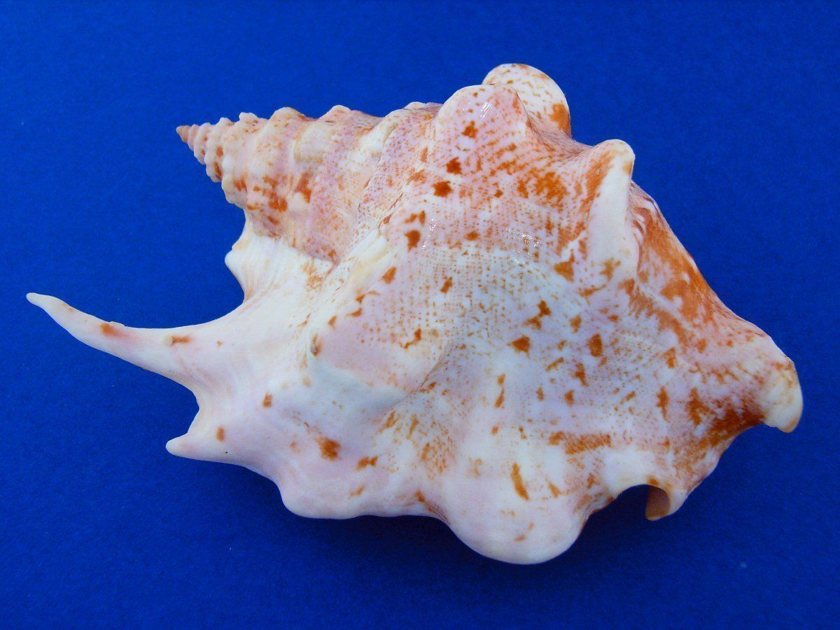 Top 10 Rarest Seashells | Shell and Science images
