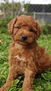 Spoodle Puppies For Sale Pines Pets Spoodle Puppies For Sale Puppies