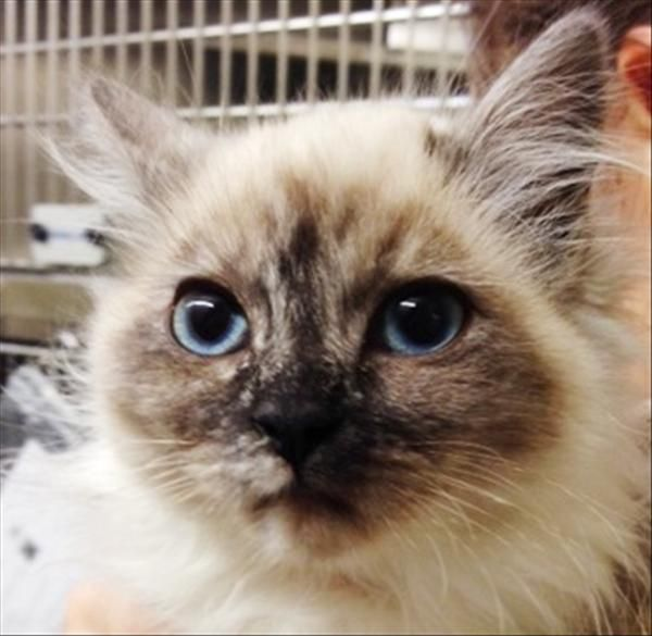 Attina is an adorably fluffly kitten looking for a forever home!