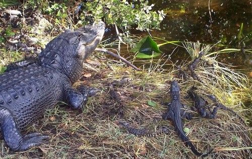 What determines the sex of baby alligators