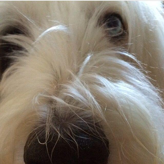 Bentley. Old English Sheepdog