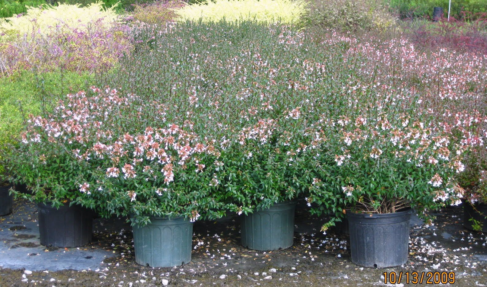 Little Richard Abelia I Used To Grow This Cultivar It Has