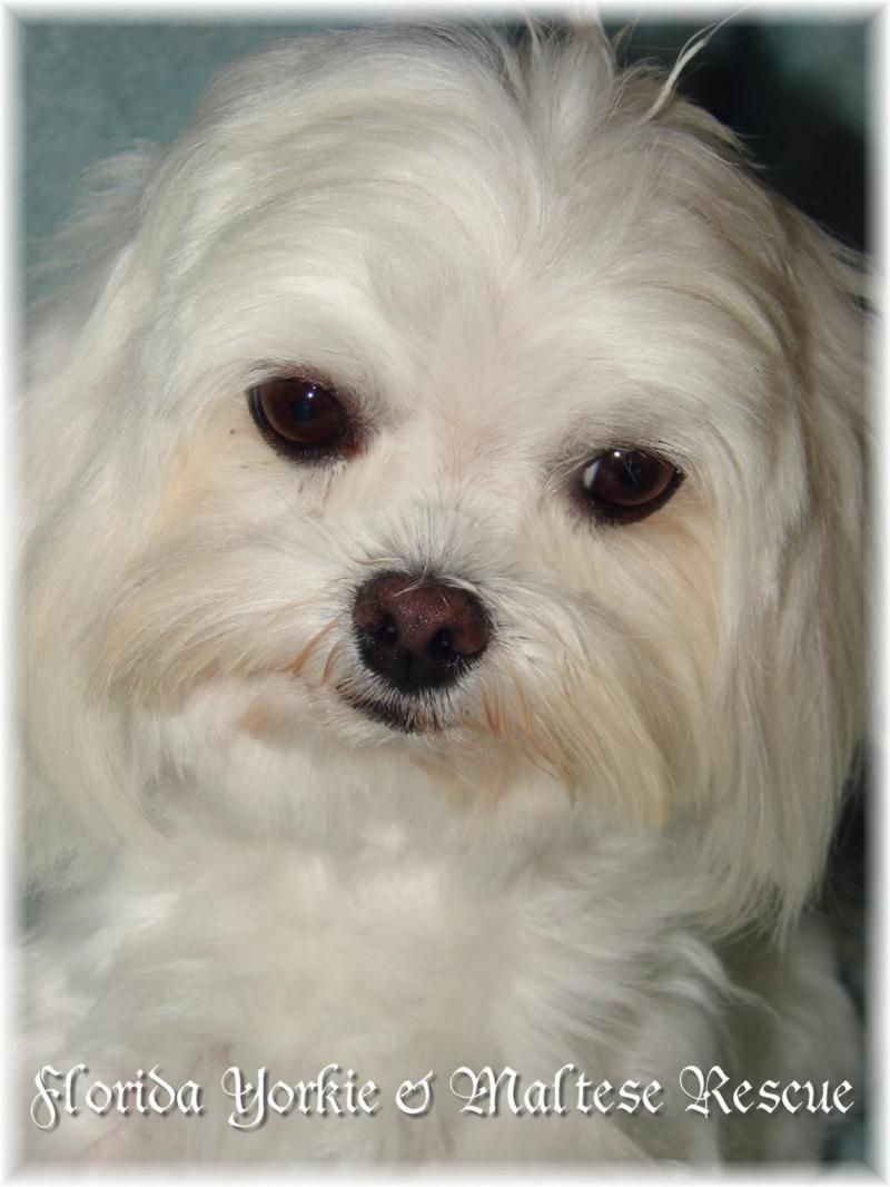 Adopt Toby On Maltese Dogs Cute Baby Animals Dogs